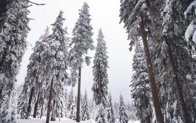 Zasněžené lesy