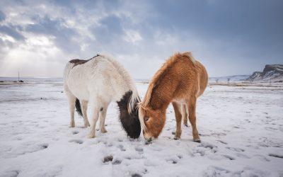 Islandští koňové